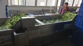 工厂用洗菜机,自动连续式清洗蔬菜