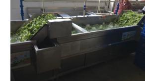 大型工厂用洗菜机